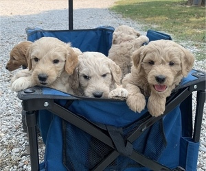 Goldendoodle Litter for sale in PIERCE CITY, MO, USA