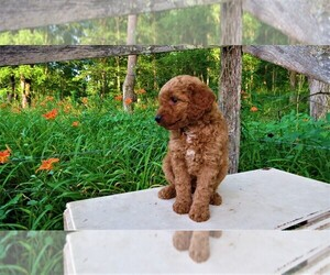 Goldendoodle Litter for sale in PORT TREVORTON, PA, USA