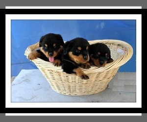 View Ad: Rottweiler Litter of Puppies for Sale near