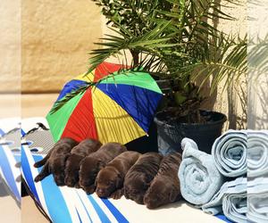 Labrador Retriever Litter for sale in VENTURA, CA, USA