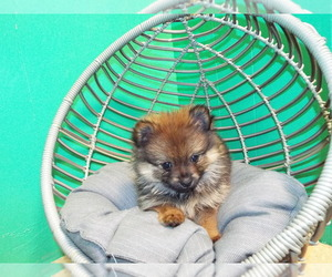Pomeranian Litter for sale in PATERSON, NJ, USA