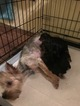 Yorkshire Terrier Puppy For Sale in EWING, KY, USA