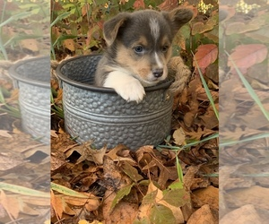 Pembroke Welsh Corgi Litter for sale in ODIN, IL, USA