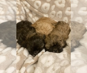 Shih Tzu Litter for sale in SHERMAN, TX, USA