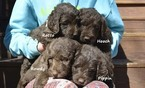 Labradoodle Puppy For Sale in JASPER, GA, USA