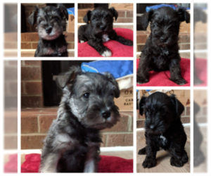 Schnauzer (Miniature) Litter for sale in LYNCHBURG, VA, USA