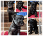 Schnauzer (Miniature) Puppy For Sale in LYNCHBURG, VA, USA