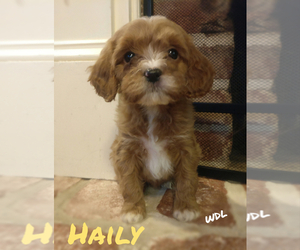 Cavapoo Litter for sale in LEBANON, PA, USA
