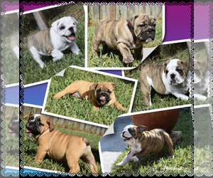 Bulldog Litter for sale in JACKSONVILLE, FL, USA