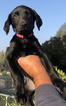 Labrador Retriever Puppy For Sale in REDLANDS, CA, USA