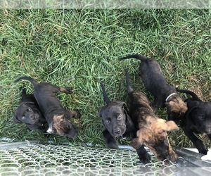 Mastador Litter for sale in MONTGOMERY, IN, USA