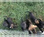 Mastador Puppy For Sale in MONTGOMERY, IN, USA