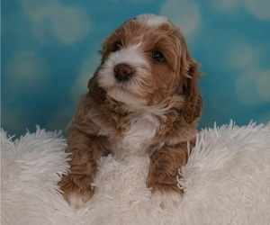 Australian Labradoodle Litter for sale in CASTRO VALLEY, CA, USA