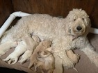 Labradoodle Puppy For Sale in HOLLYWOOD PARK, TX, USA
