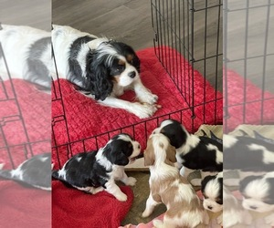 Cavalier King Charles Spaniel Litter for sale in LONG BEACH, CA, USA