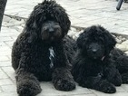 Saint Berdoodle Puppy For Sale in FRANKLIN, TN, USA