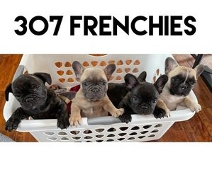 French Bulldog Litter for sale in GILLETTE, WY, USA