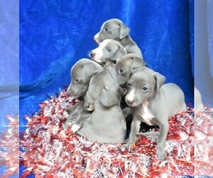 Italian Greyhound Litter for sale in NORWOOD, MO, USA