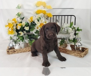 Miniature Labradoodle Litter for sale in COLLEGE STA, TX, USA