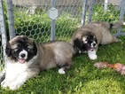 Caucasian Shepherd Dog Puppy For Sale in WHITEFISH, MT, USA
