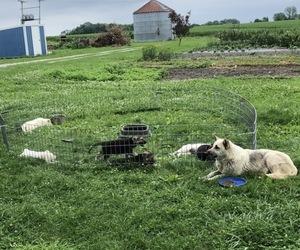 German Shepherd Dog Litter for sale in KALONA, IA, USA