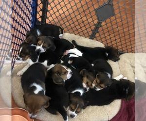Beagle Litter for sale in MIAMI, FL, USA