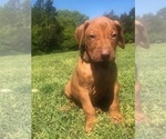 Rhodesian Ridgeback Puppy For Sale in GREENBRIER, AR, USA