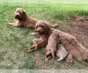 Goldendoodle Litter for sale in DRACUT, MA, USA