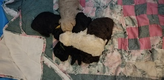 Poodle (Miniature) Litter for sale in EMPORIA, KS, USA