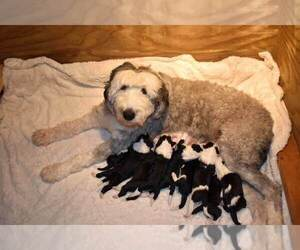 Sheepadoodle Litter for sale in HALLOCK, MN, USA