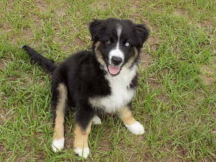 Puppyfinder com: Australian Shepherd puppies puppies for sale near