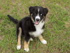 Australian Shepherd Puppy For Sale in WILLISTON, FL, USA
