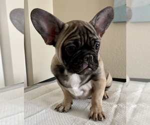 French Bulldog Litter for sale in MANTECA, CA, USA