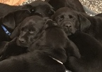 Labrador Retriever Puppy For Sale in MARYSVILLE, CA, USA