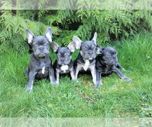 French Bulldog Litter for sale in SEATTLE, WA, USA