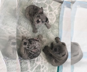 French Bulldog Litter for sale in PORTSMOUTH, RI, USA