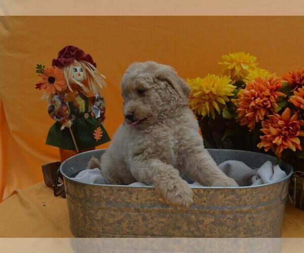Medium Photo #1 Poodle (Standard) Puppy For Sale in COVINGTON, GA, USA