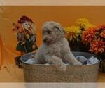 Small Photo #1 Poodle (Standard) Puppy For Sale in COVINGTON, GA, USA
