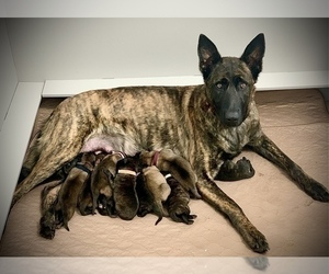 Dutch Shepherd Dog Litter for sale in CHARLESTON, WV, USA