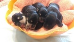 Schnauzer (Miniature) Puppy For Sale in AUBURNDALE, FL, USA