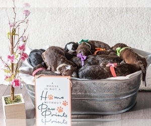 Aussiedoodle Litter for sale in MONTROSE, CO, USA
