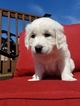 English Cream Golden Retriever Puppy For Sale in HUDSONVILLE, MI, USA