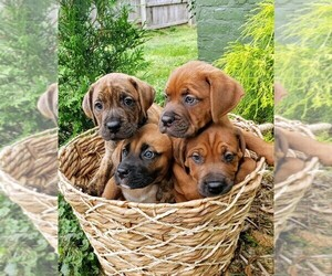 View Ad: Boxer-Catahoula Leopard Dog Mix Litter of Puppies