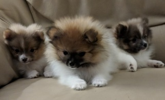 Pomeranian Puppy For Sale in MARTIN, OH, USA