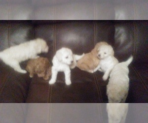 View Ad Goldendoodle Poodle Miniature Mix Litter Of