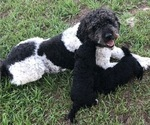 Labradoodle Puppy For Sale in PLACIDA, FL, USA