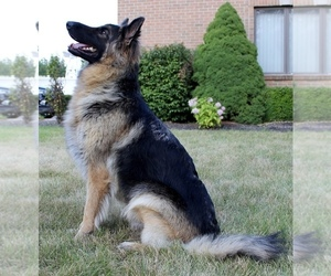 German Shepherd Dog Litter for sale in ARMADA, MI, USA