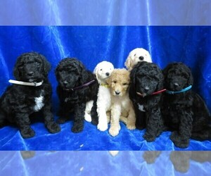 Poodle (Standard) Litter for sale in HARTVILLE, MO, USA