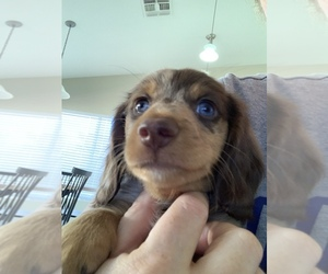 Dachshund Litter for sale in GLENDALE, AZ, USA