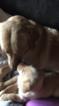 Labrador Retriever Puppy For Sale in FRUITLAND PARK, FL, USA